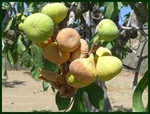 Şekil 6 - Çok Miktarda İlek Atımından Kaynaklı Fazla incir tutumu